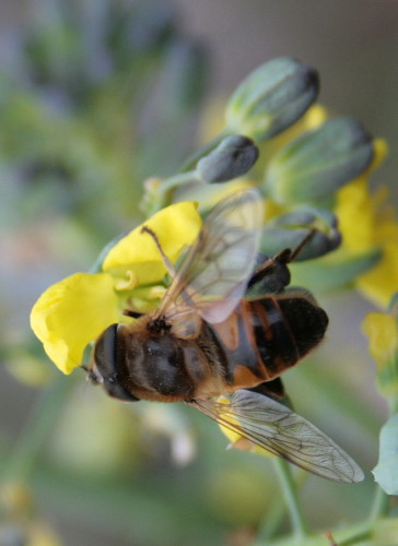 bee mimic fly at broccoli flower
