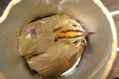 Ovenbird being weighed