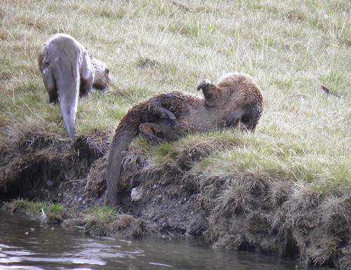 otters loll  on land