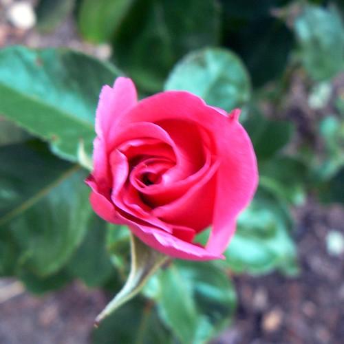 My new rose