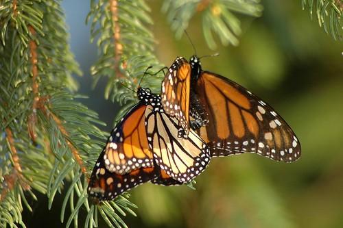 monarch pair