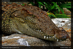 CrocodilePortrait