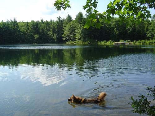 Reggie wades at Goose Pond