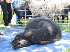 2007Jul28_SheepShearing07