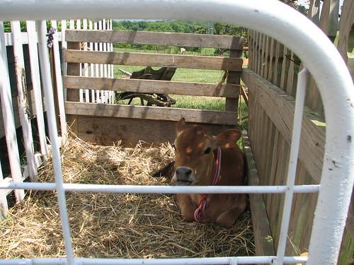 mackenzie the jersey calf