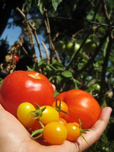 first tomato harvest, pt.2