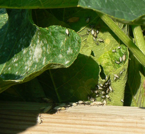 squash bugs, planning their attack