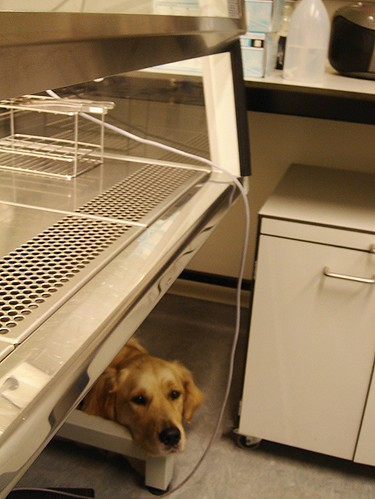 Patient laboratory dog