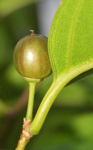 Rhamnella vitiense