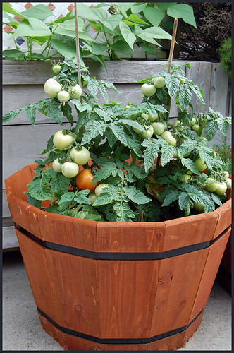 totem patio tomatoes