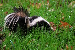 Skunk 1