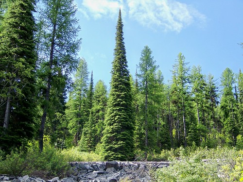 Subalpine fir (abies lasiocarpa)