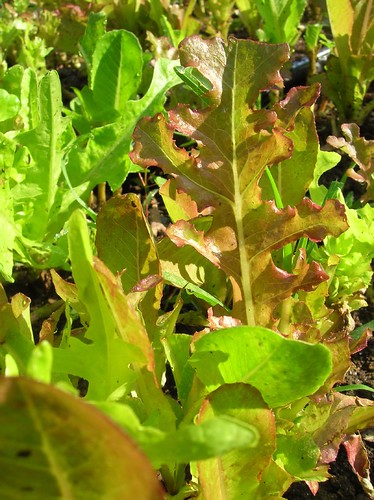 Lettuce Mix in the Field