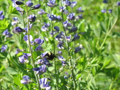 Eloise Butler Wildflower Garden: Bee & Flower