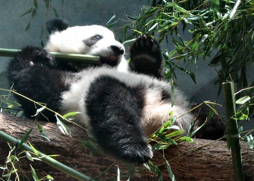http://animalphotos.info/a/2008/01/13/giant-panda-lays-on-his-back-and-munches-on-bamboo/