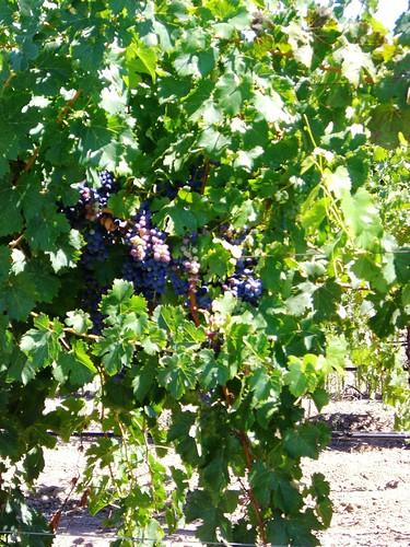 Sausal Winery Grapes