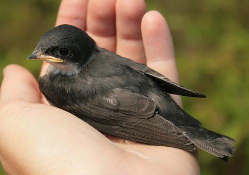 Tree Swallow nestling