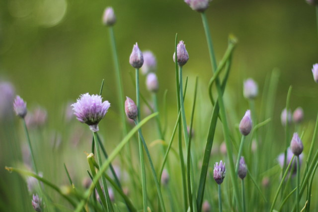 Chive flower and friends