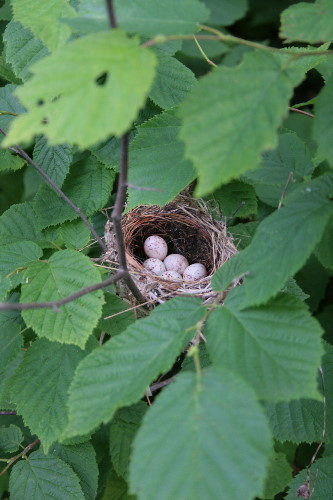 Chestnut-sided Warbler nest