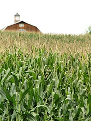 Jersey Corn At Kerr Road & Route 94 (Blairstown, NJ)