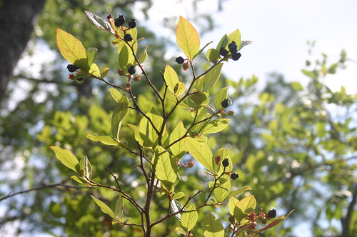 Paddling Perquiman County Blueway - Blueberries
