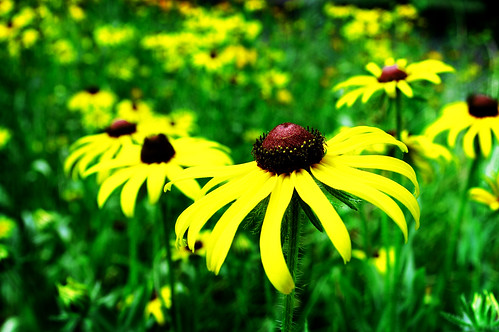 Black-eyed Susans - Ghetto LOMOized