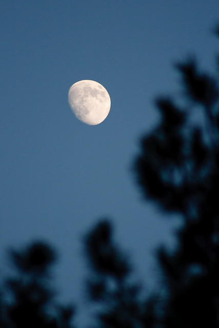 Nearly full moon in a blue sky, seen through pine tree branches