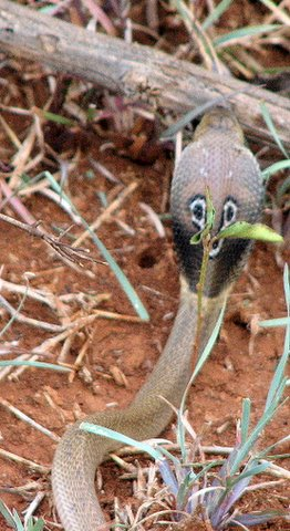 Baby Spectacled Cobra 1 July 07