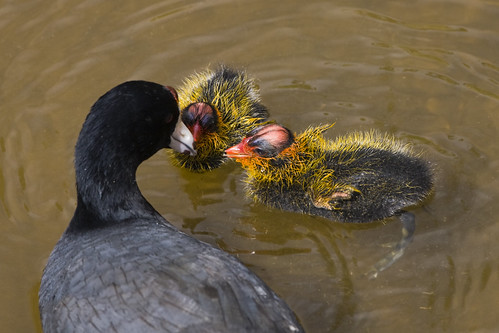 You can't fool a coot...American coots employ selective conspecific brood parasitism (1/6)