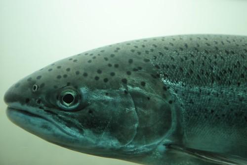 fish - Columbia River Mile 146.1 - Matt Niebuhr
