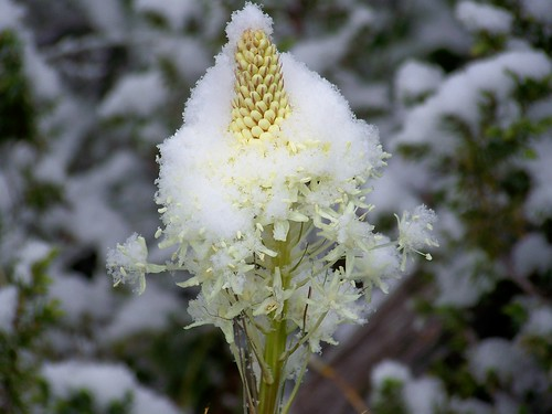 Beargrass and snow