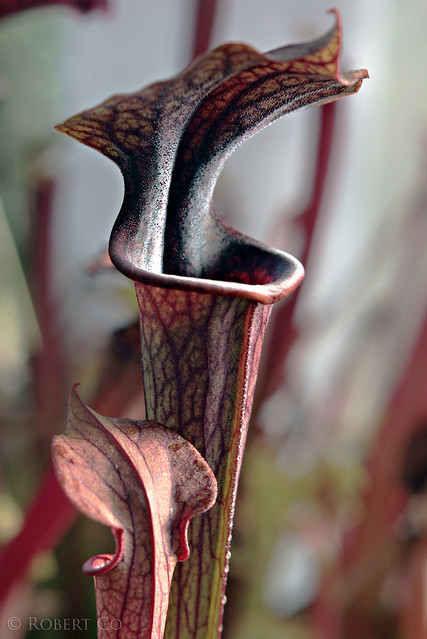 Sarracenia 'Lamentations' x flava var. rubricorpora