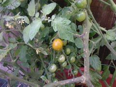First Tomato 02