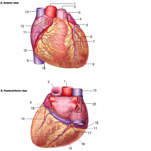 anterior heart diagram unlabeled wiring for capacitor start motor coronary vessels quiz by thebrend88 with