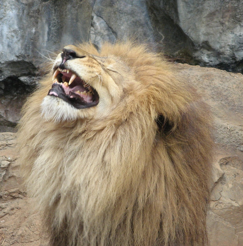 A laughing lion?