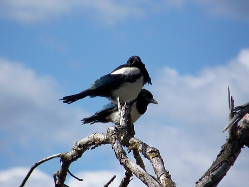 Baby Magpies