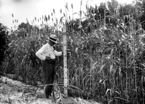 Man standing with measuring ruler by Sumac Sorghum planted March 23, 1911