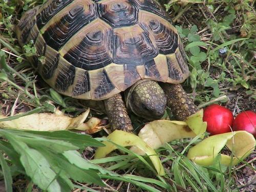 L alimentazione della tartaruga tartarugosa for Temperatura tartarughe