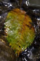 Leaf in the Creek
