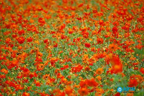 hamarikyu flores