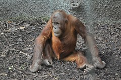 Orang-Utan im Zoo Chester