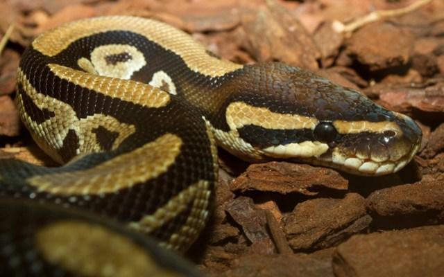 Python regius - ball python