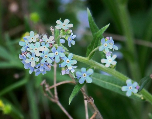 Forget-me nots