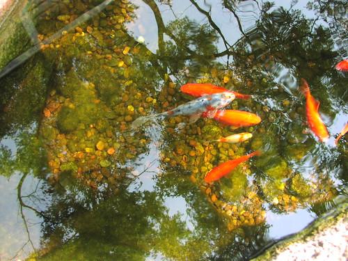 goldfish and shubunkins