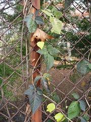 Bittersweet nightshade on chainlink fence