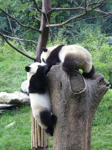 Pandas playing King of the Stump