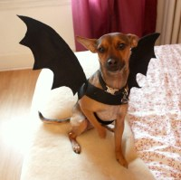 Tutorial: Dog Bat Costume - Life at Cloverhill