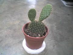 Cactus Mickey