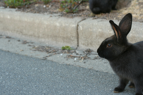Uvic bunny sitting on road