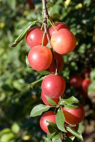 Drupe di Prunus cerasifera